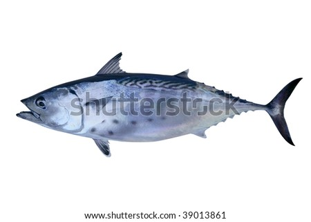 Little tunny catch tuna fish Atlantic seafood - stock photo