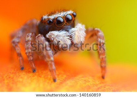 Little turkish jumping spider closeup