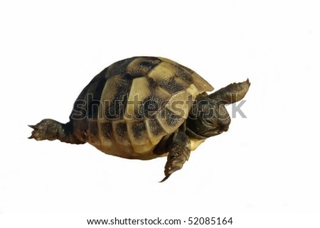 little turtle Hermann's Tortoise isolated on a white background - stock photo
