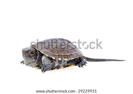 little turtle isolated on white background