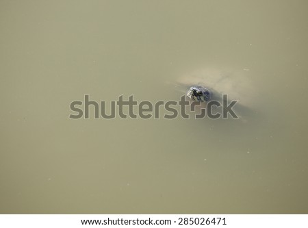 Little turtle peeking out of pond water - stock photo