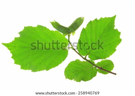 Little twig of the hazel tree with unripe nuts and fresh green leaves (Corylus avellana) isolated against white background - stock photo