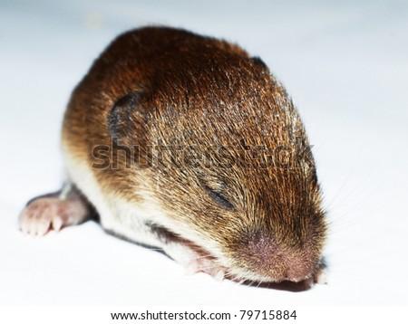Little vole - stock photo