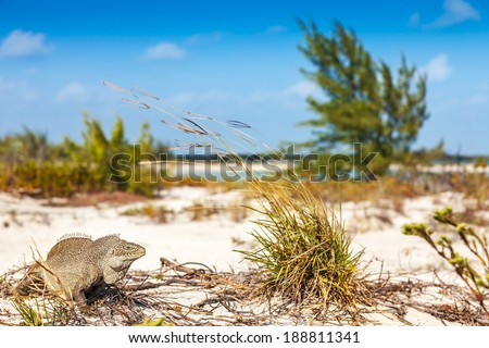 Little Water Cay is known as Iguana Island, Turks and Caicos - stock photo