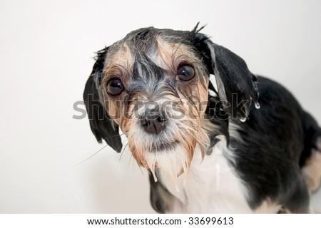 Little wet dog - stock photo