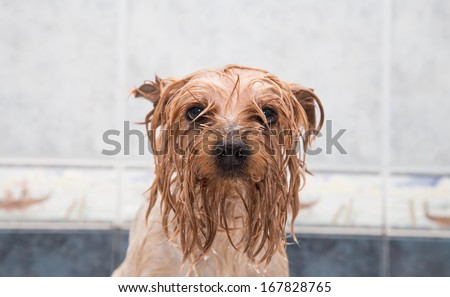 Little wet Yorkshire terrier after the bath - stock photo