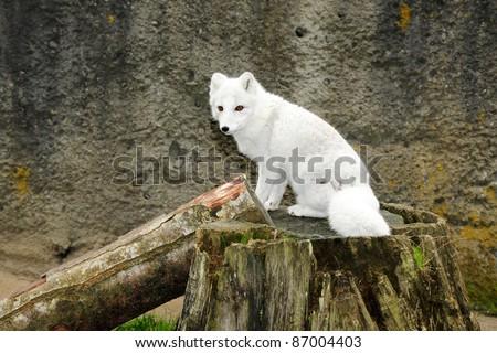 Little white arctic fox - stock photo