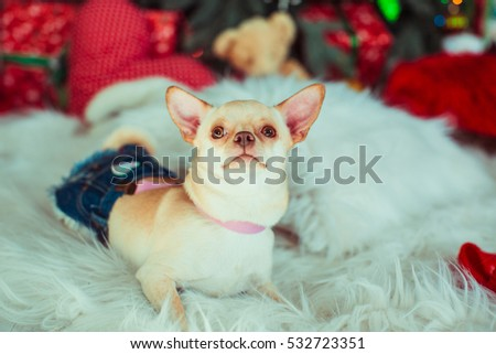 Little white chihuahua in jeans skirt lies on fluffy carpet