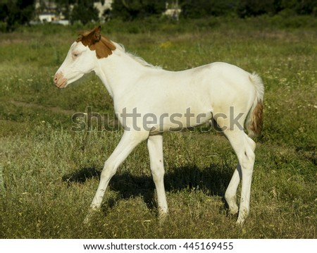 little white colt with a pink nose standing in a field on the grass