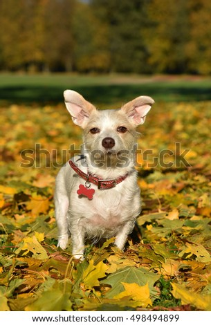 Little white crossbreed dog in the beautiful autumn