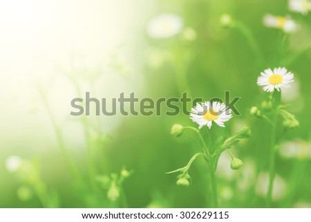 Little white daisy flower and grass for nature agriculture soft focus vintage nature color post card concept - stock photo
