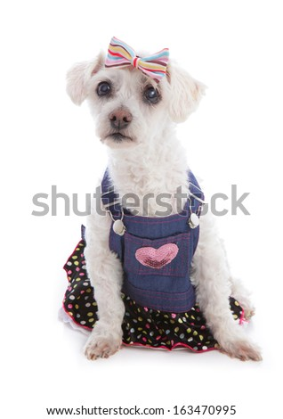 Little white dog wearing a denim bib and brace dress with polka dot frill and a hair bow. - stock photo