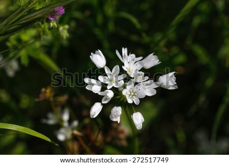 Little white flowers in garden. Bush of white flowers. - stock photo
