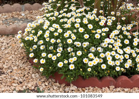 little white flowers in the garden - stock photo