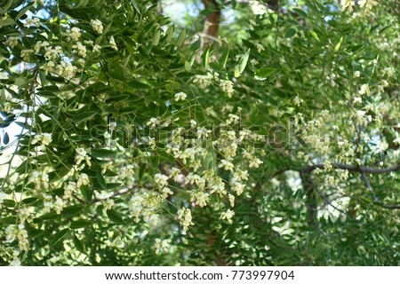Little white flowers sophora japonica tree stock photo royalty free little white flowers of sophora japonica tree mightylinksfo Image collections