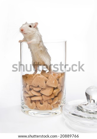 Little white gerbil rat in a cookie jar - stock photo