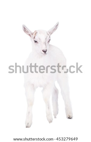 Little white goatling isolated on white background - stock photo