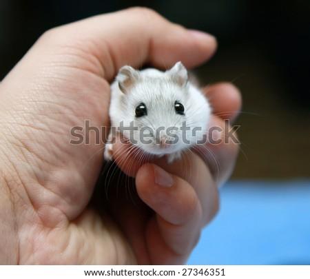 Little white hamster male hand - stock photo