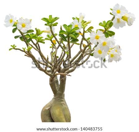 Little white impala lily flower isolated on white background - stock photo