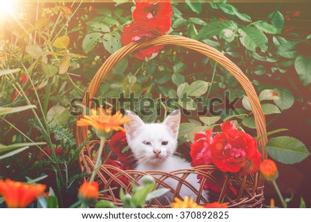 Little white kitten in a wicker basket and red roses in the garden, filtered.