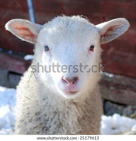 little white lamb outside a barn looking into the camera