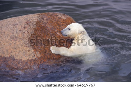 Little white polar bear struggles near stone