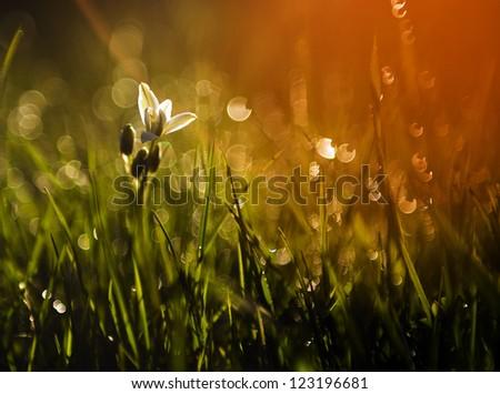 Little white wild flower in sunset - stock photo
