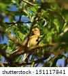 Little wild bird serinus serinus in its natural environment between fine branches and green leaves of almond tree, with unfocused foreground and blue sky in background - stock photo