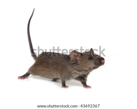 little wild mouse on white background