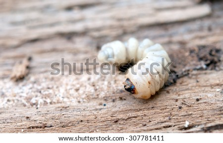 little woodworm lies on tree - stock photo