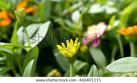 Little Yellow Bud Zinnia - stock photo