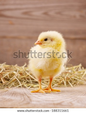 little yellow chick - stock photo