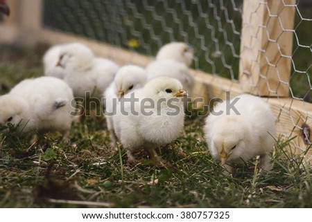 Little yellow chick-lets roaming the chicken run