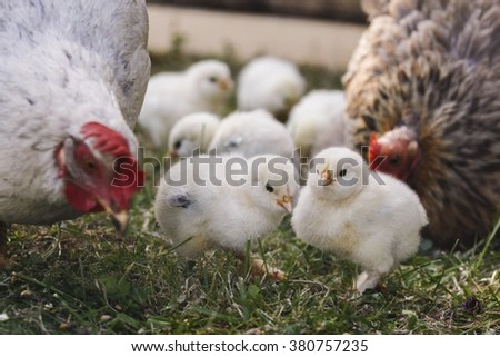 Little yellow chick-lets roaming the chicken run with hens