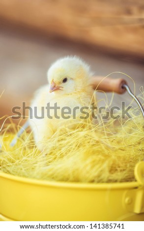 Little yellow chick outdoor