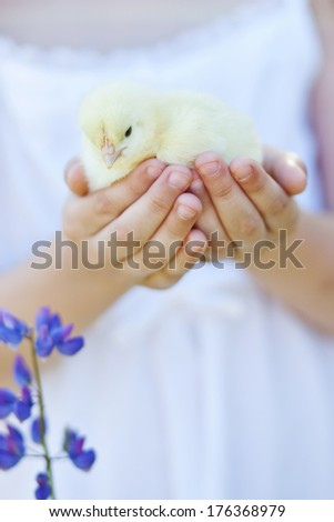 little yellow chicken in the hands - stock photo