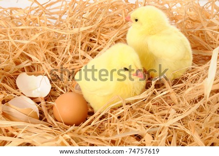 Little yellow chicks in nest