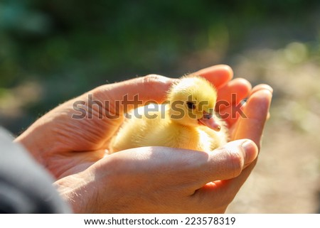 Little yellow duckling on human hands  - stock photo