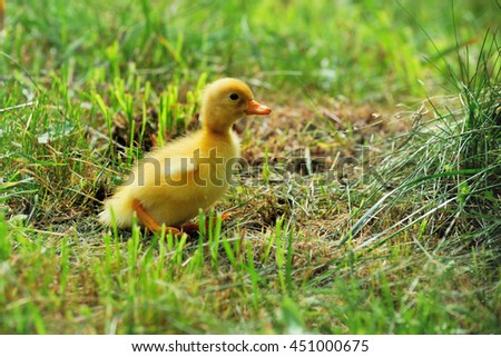 Little yellow duckling on the green grass - stock photo