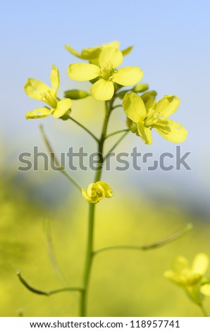 Little yellow flowers four petals brassica stock photo royalty free little yellow flowers with four petals brassica juncea mightylinksfo
