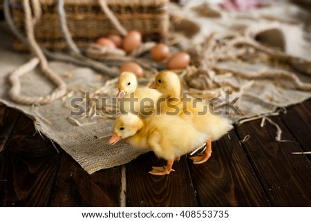 Little yellow fluffy ducklings  - stock photo