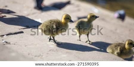 little yellow goslings - stock photo