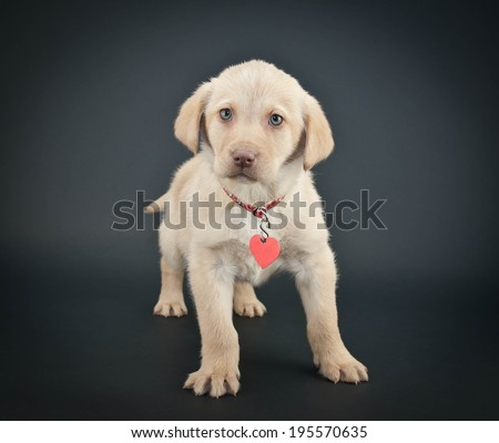 Little Yellow Lab puppy wearing a collar and tag on a black background. - stock photo
