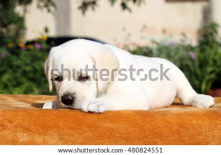 little yellow labrador puppy sitting on orange background