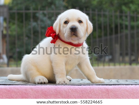 little yellow labrador puppy sitting on pink background