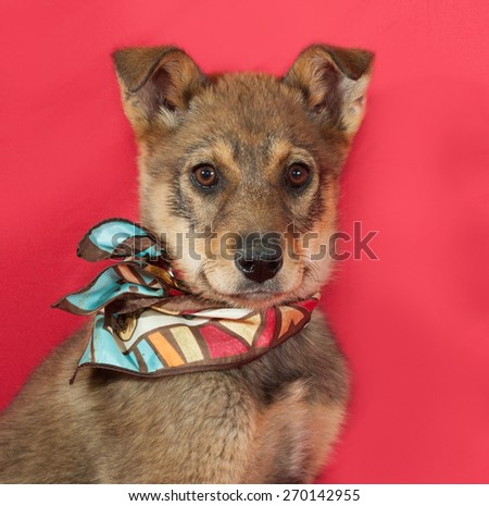 Little yellow puppy on red background