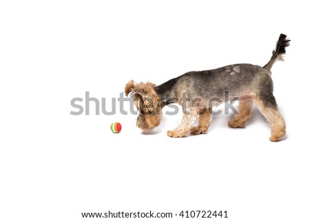 Little Yorkie puppy playing with ball - isolated on white and with shadow on the floor - stock photo