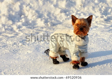 Little yorkshire terrier dog in a silver jacket curious looking around while walking in the winter
