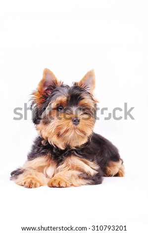 Little Yorkshire terrier puppy on a white background - stock photo