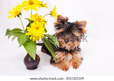 Little Yorkshire terrier puppy on a white background next to the flowers. - stock photo